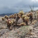 Jumping Cholla Cactus, Canyon Sin Nombre, Carrizo Badlands, Southern Anza Borrego, San Diego County, CA.