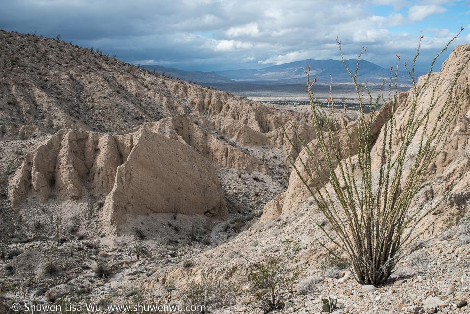 Ocotillo at Canyon Sin Nombre, Carrizo Badlands, Southern Anza Borrego, San Diego County, CA.