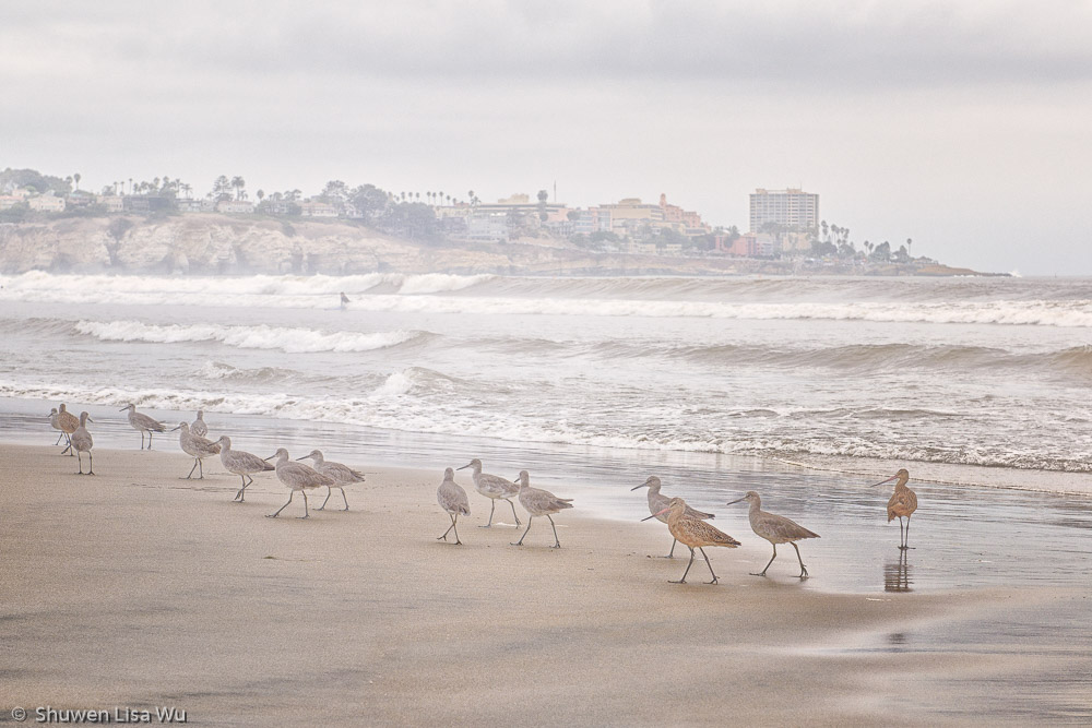 Marching Birds at La Jolla Shores