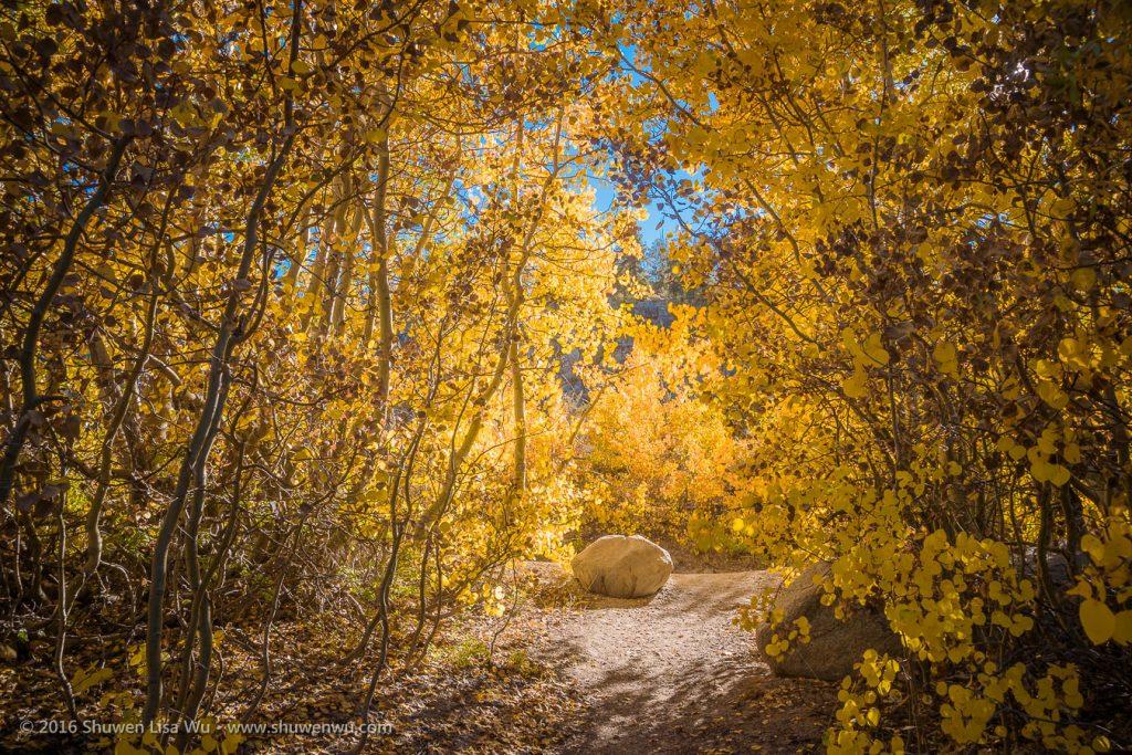 Path through fall-colored aspens at North Lake, Bishop, California, September 2016.