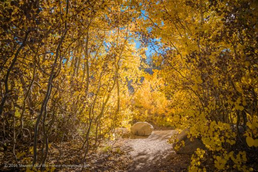 Path through fall-colored aspens at North Lake, Bishop, California, September 2016.