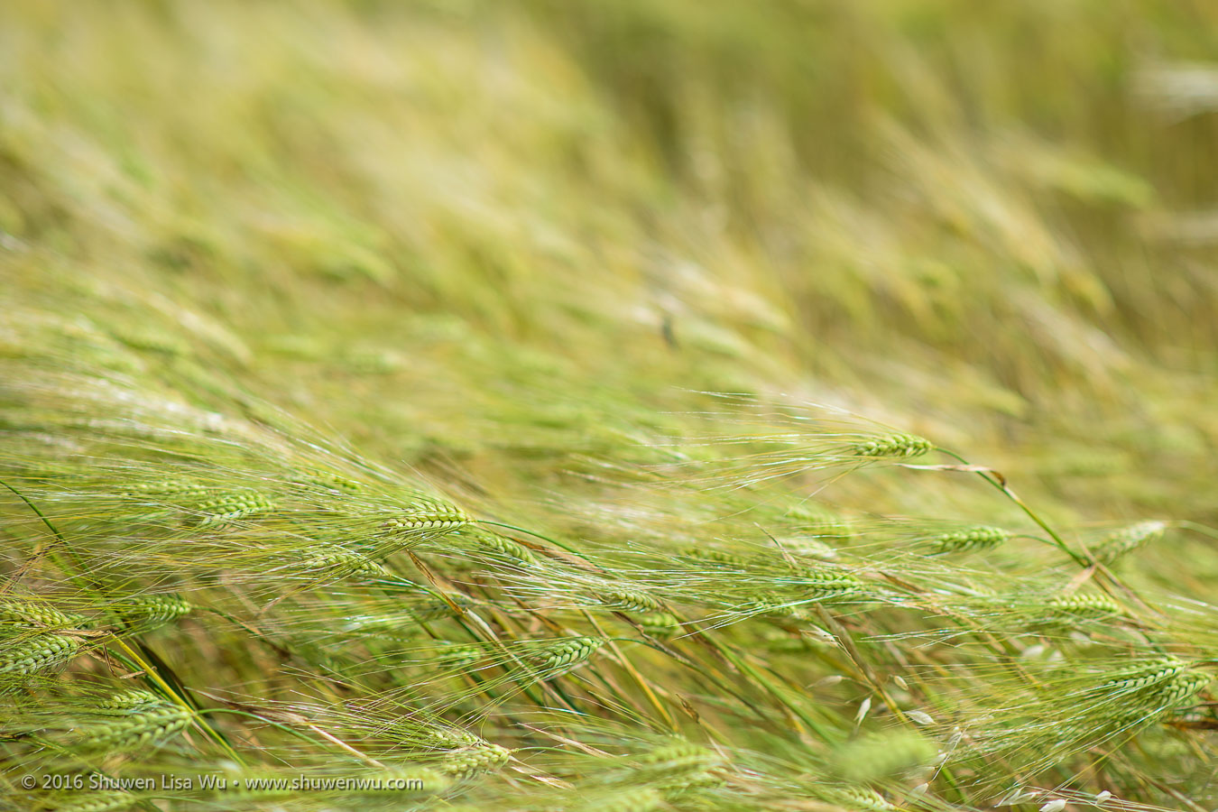 Close-up of wheat swaying in the wind, along Vineyard Road, Paso Robles, California, April 2016.