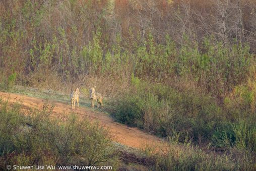 Two coyotes in morning light at Lake Hodges, Rancho Bernardo, San Diego County, California. December 2016.