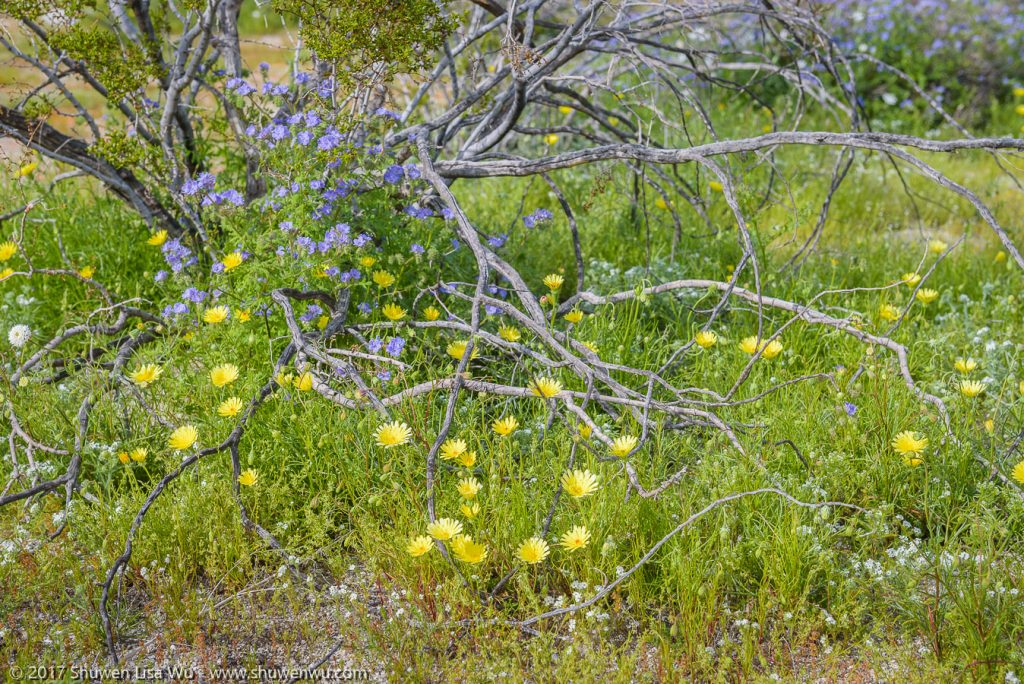 Desert Wildflowers near the Anza Borrego Visitor Center, Borrego Springs, California. March 2017.