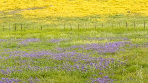 Phacelia, Fence and Daisies, Southern Soda Lake Road, Carrizo Plain National Monument, California. March 2017.
