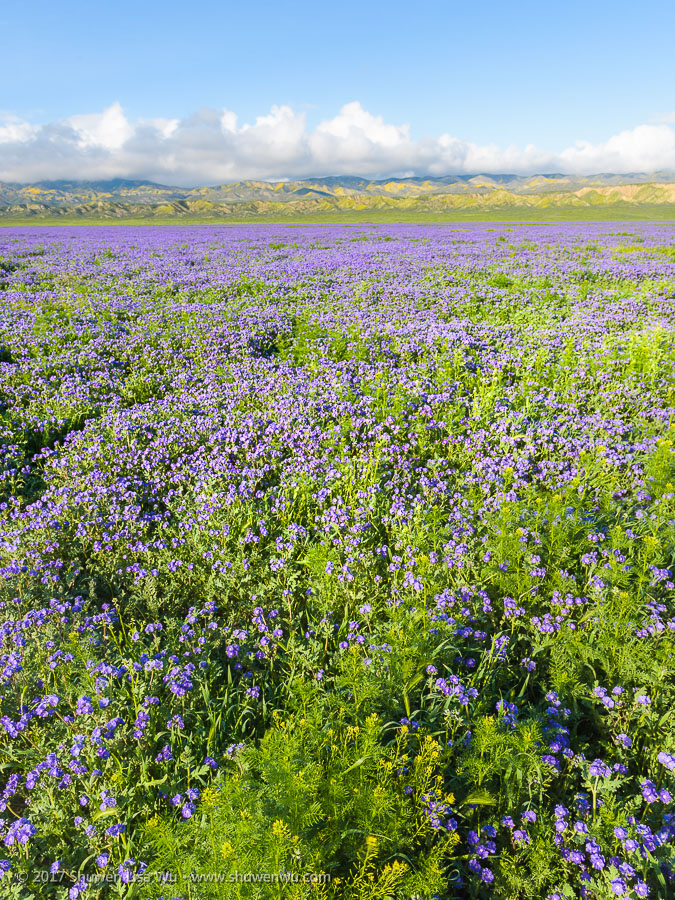 Phacelia Field, Carrizo Plain National Monument, California. March 2017.