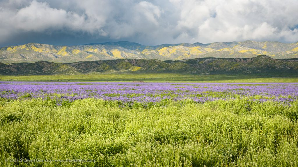 Phacelia Field and Temblor Range, Carrizo Plain National Monument, California. March 2017.
