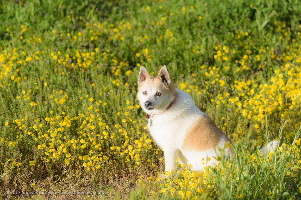 Our dog Toni enjoyed the flowers too - Carrizo Plain National Monument, California. March 2017.