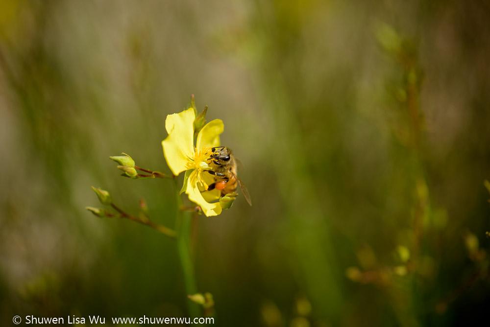 Bee on Crocanthemum