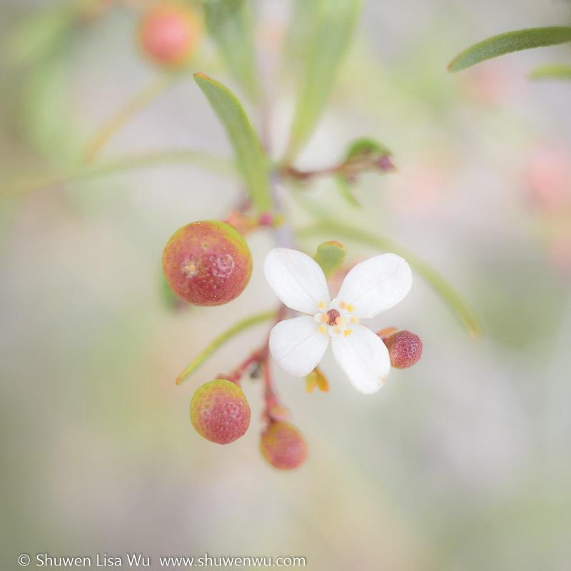 Bushrue Berries & Flower