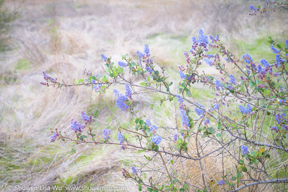 Ceanothus tomentosus twig at Daley Ranch, Escondido, California.