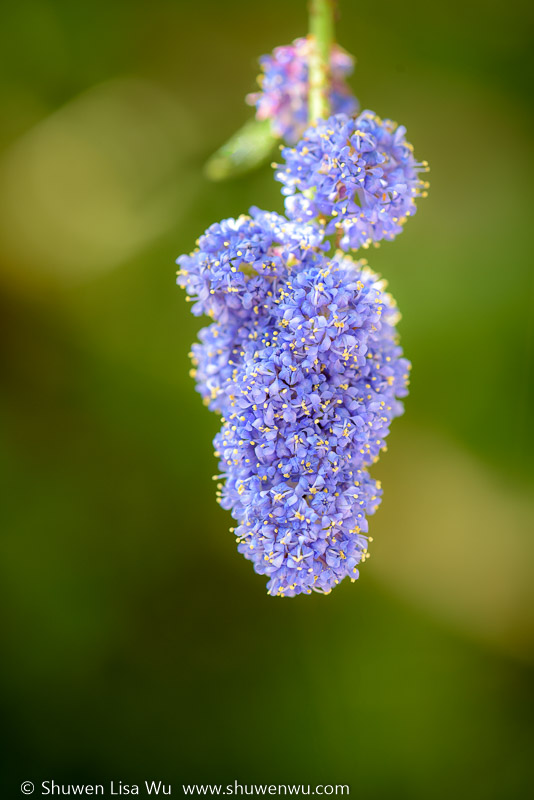 Ceanothus tomentosus inflorescence at Lake Hodges, Rancho Bernardo, California.