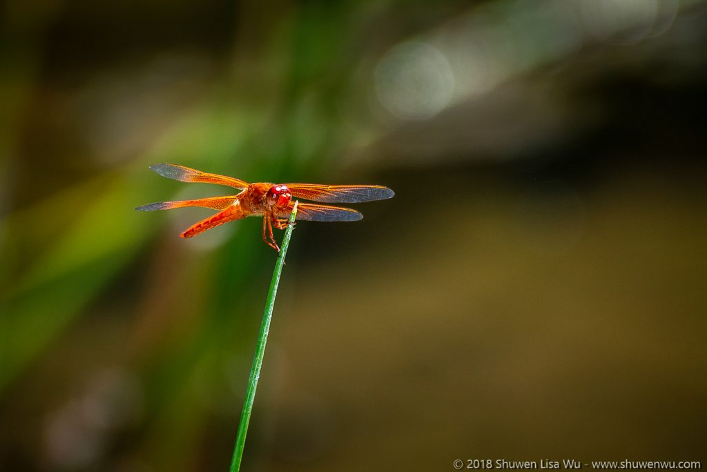 Firecracker Skimmer, Flame Skimmer (Libellula saturata) at Santee Lakes, San Diego County, California.