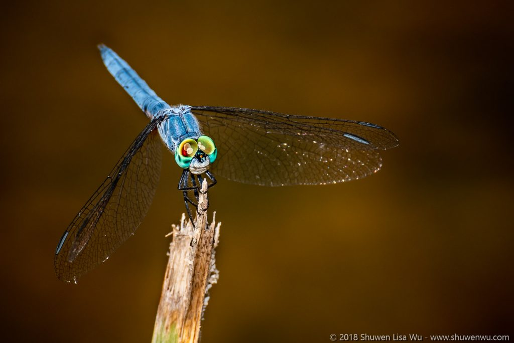 Pachydiplax longipennis (Blue Dasher) at Santee Lakes, San Diego County, California.