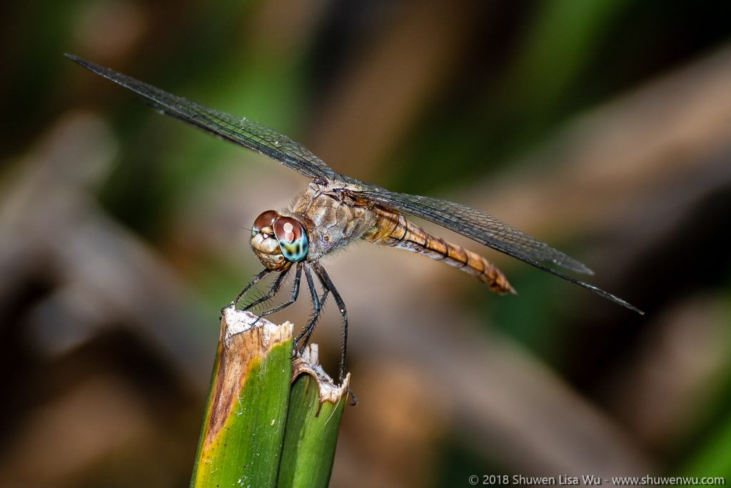 Red-tailed Pennant female (Brachymesia furcata)